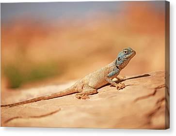 Sinai Agama (pseudotrapelus Sinaitus) Canvas Print by Photostock-israel