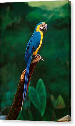 Parrots Canvas Print - Singapore Macaw At Jurong Bird Park  by Anonymous