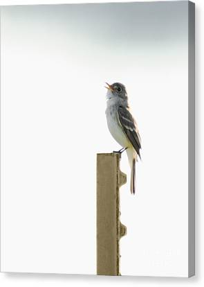 Canvas Print featuring the photograph Singing Flycatcher by Anita Oakley