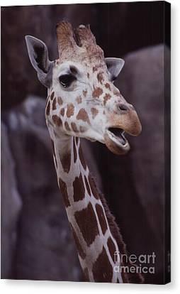 Singing Giraffe Canvas Print by Anna Lisa Yoder