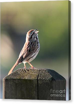 Canvas Print featuring the photograph Singing Song Sparrow by Anita Oakley