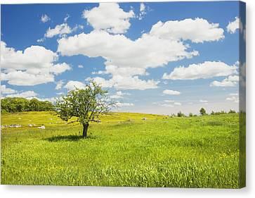 Single Apple Tree In Maine Blueberry Field Canvas Print by Keith Webber Jr