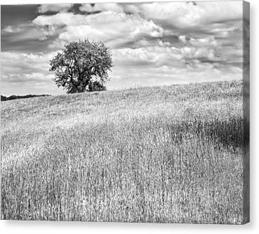 Single Apple Tree In Maine Hay Field Photograph Canvas Print