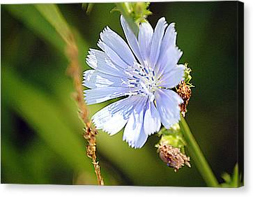 Single Blue Flower Canvas Print by Stephanie Grooms