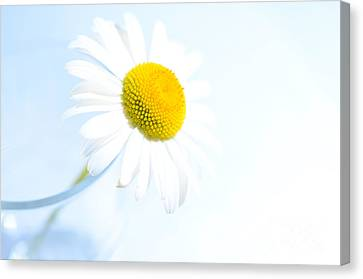Single Daisy Flower In Vase Canvas Print by Sabine Jacobs