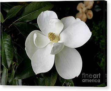 Single Magnolia II Canvas Print by Michelle Wolff