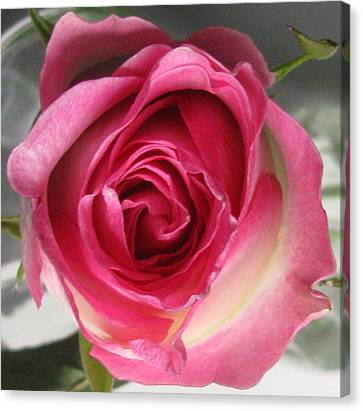 Canvas Print featuring the photograph Single Pink Rose by Margaret Newcomb