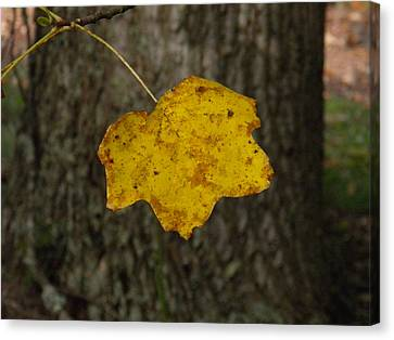 Canvas Print featuring the photograph Single Poplar Leaf by Nick Kirby