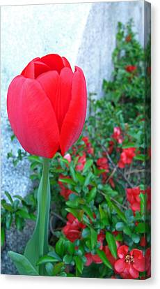 Single Red Tulip Canvas Print by Barbara McDevitt