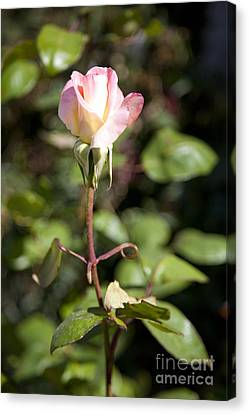 Single Rose Canvas Print by David Millenheft