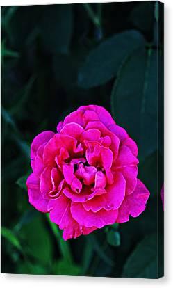 Single Rose Canvas Print by Jp Grace