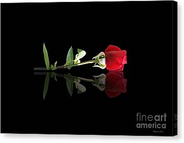 Single Rose Canvas Print by Stephanie Laird