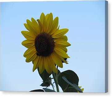 Canvas Print featuring the photograph Single Sunflower And The Bees by Tina M Wenger
