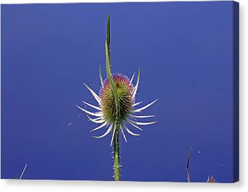 Single Teasel Canvas Print