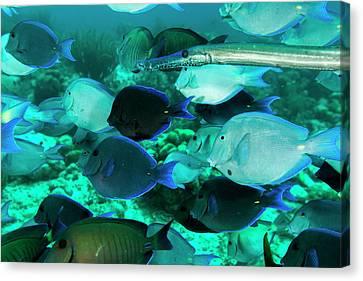 Single Trumpetfish Swimming Among Canvas Print
