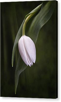Single Tulip Still Life Canvas Print by Tom Mc Nemar
