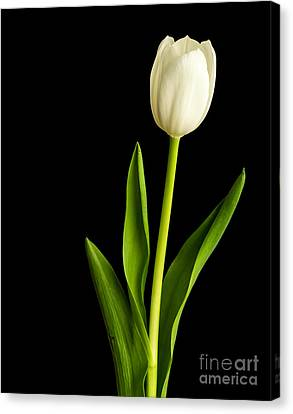 Single White Tulip Over Black Canvas Print by Edward Fielding
