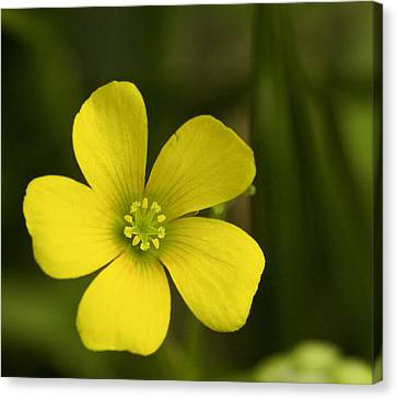 Single Yellow Flower Canvas Print by John Holloway