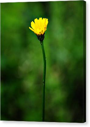 Single Yellow Flower Canvas Print by Stephanie Grooms