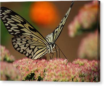Sip Of The Nectar Canvas Print by Randy Hall
