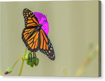 Michael Canvas Print - Sipping Monarch Butterfly On A Purple by Michael Qualls