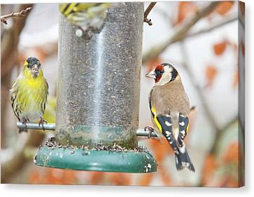 Siskins And Goldfinch On Feeder Canvas Print by Ashley Cooper