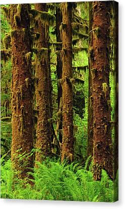 Sitka Spruce And Sword Ferns, Hoh Rain Canvas Print by Michel Hersen