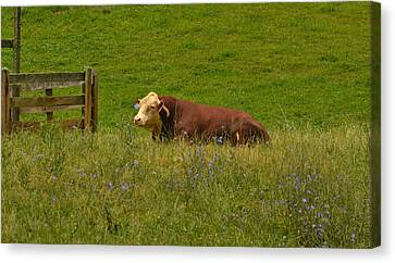 Sitting Cow Canvas Print
