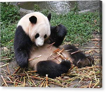 Playing Panda Canvas Print