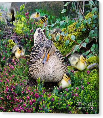 Ducklings Canvas Print - Sitting Pretty by Jasna Buncic