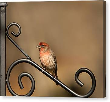 Sitting Pretty Red House Finch Canvas Print