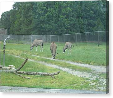 Sixflags Canvas Print - Six Flags Great Adventure - Animal Park - 121231 by DC Photographer