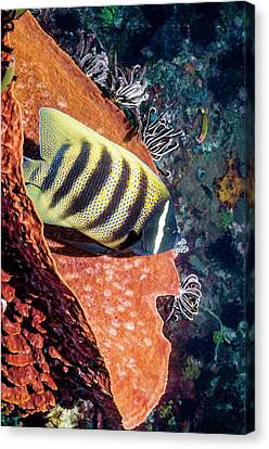 Sixbar Angelfish On A Reef Canvas Print by Georgette Douwma