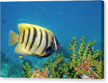 Sixbar Angelfish Over Sun Coral Canvas Print