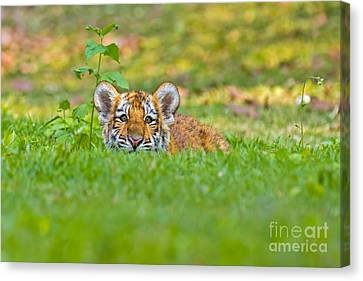 Sizing Up The Situation Canvas Print by Ashley Vincent