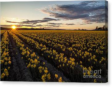 Skagit Daffodils Sunset Sunstar Canvas Print