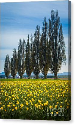 Skagit Trees Canvas Print