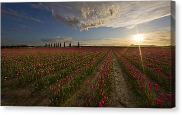 Skagit Tulip Fields Sunset Canvas Print by Mike Reid