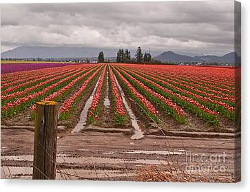 Canvas Print featuring the photograph Skagit Valley Tulip Farmlands In Spring Storm Art Prints by Valerie Garner