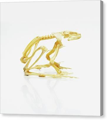 Skeleton Of African Bullfrog Canvas Print
