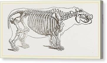 Skeleton Of Hippopotamus Canvas Print by Litz Collection