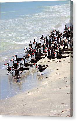 Skimmers On The Beach Canvas Print by Carol Groenen