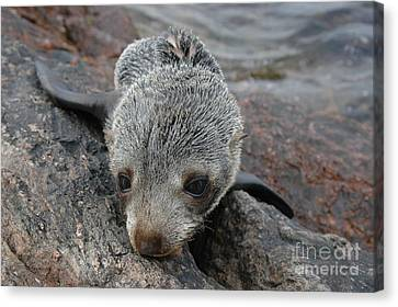 Skinny Fur Seal Canvas Print