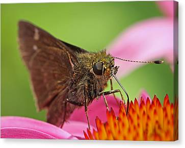 Skipper Moth Canvas Print by Juergen Roth