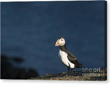 Skokholm Puffin Canvas Print by Anne Gilbert