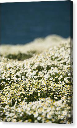 Skokholm Sea Mayweed Canvas Print by Anne Gilbert
