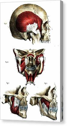 Skull Anatomy Canvas Print by Collection Abecasis