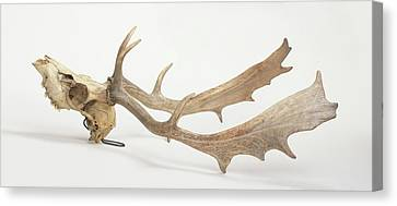 Skull And Antlers Of Fallow Deer Canvas Print