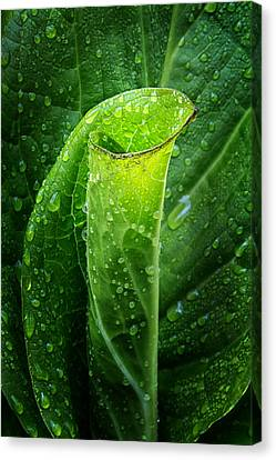 Skunk Cabbage Canvas Print by Bill Wakeley