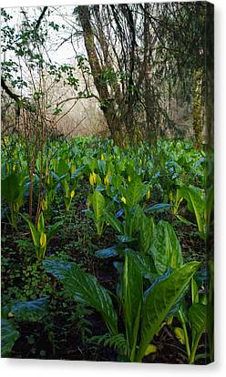 Canvas Print featuring the photograph Skunk Cabbages by Adria Trail